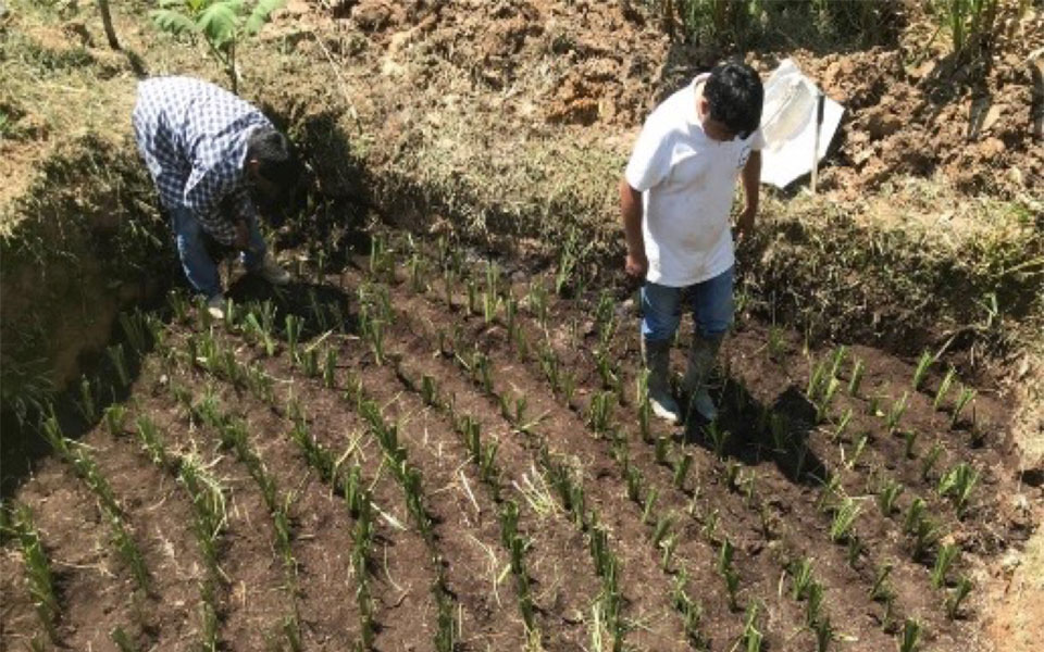Vetiveria planting on the plot of Mr. Raúl Gamaniel in Río Tigre - Tingo María